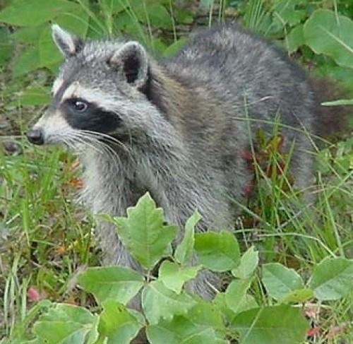 Cumberland #18 Raccoon
