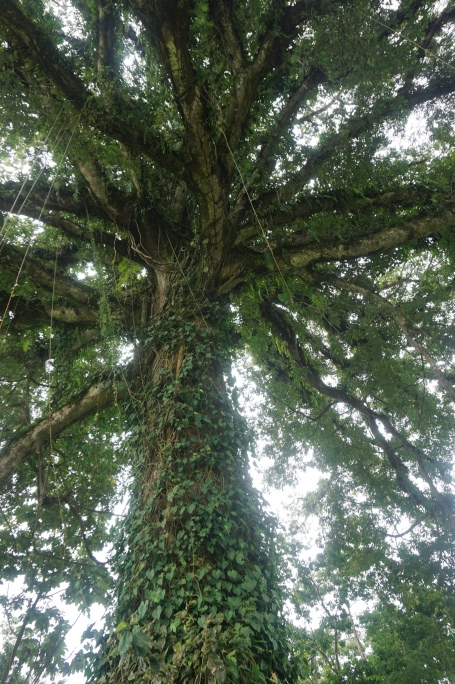 500 Year Old Ceiba (Kapok) Tree Near Nuevo Arenal