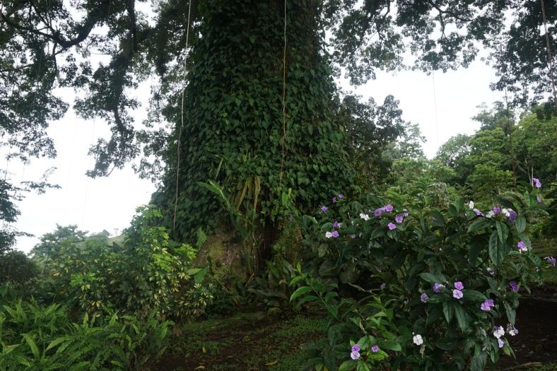 Ceiba Tree-2