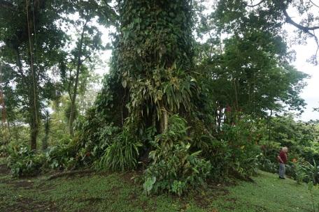 Ceiba Tree-3