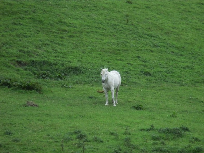 kris-photo-of-white-horse-in-green-green-ireland