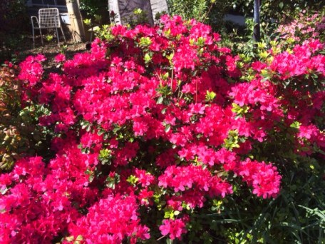 Azaleas in March