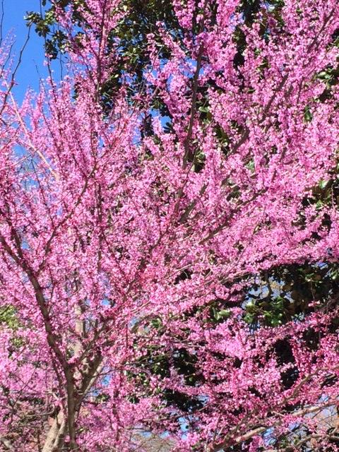 Redbud tree.JPG